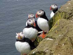 Puffins in Iceland.  As many times I have been to Maine I have yet to see these beautiful Puffins.   So cute!