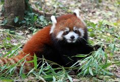 Cincinnati Zoo ... Bamboo is good for growing Red Pandas ... !