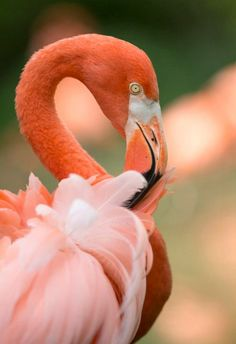 Caribbean Flamingo © Amiee Stubbs Photography