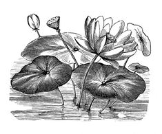 Vintage Clip Art - Water Lily - Lotus Flowers - The Graphics Fairy Lilies Drawing, Water Drawing, Plant Drawing, Lily Images, Lotus Flower Art, Flower Drawing Tutorials, Dragonfly Art, Graphics Fairy, Hippie Art