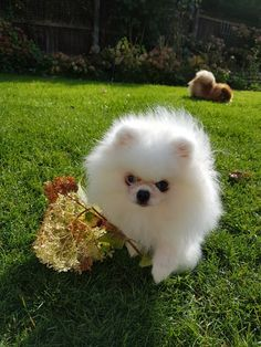 White Pomeranian Archie from Chelliche UK