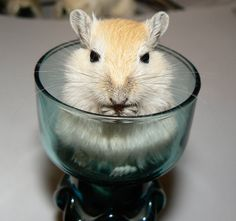 Dark-eyed honey baby gerbil (male) born in a candle holder. He seemed to like sitting in it. Rodents, Hamsters, Funny Animals, Cute Animals, Human Babies, Gerbil, Dark Eyes, Chinchilla, Exotic Pets