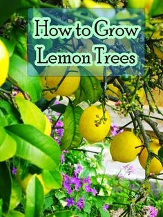 How to Grow Lemon Trees #citrus #gardening #agriculture