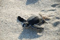 Baby turtle at Ushongo Beach