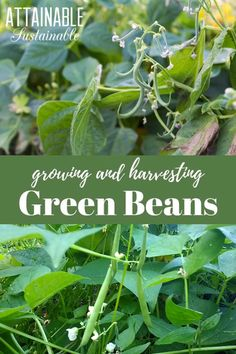 Growing green beans in a home garden is a satisfying endeavor! Also known as string beans, these legumes are easy to grow and a green bean plant will produce for an extended period of time. garden videos Growing and Harvesting Green Beans from the Garden Growing Greens, Growing Plants, Growing Green Beans Trellis, Growing Green Peppers, Planting Green Beans, Growing Snow Peas, Growing Herbs In Pots, Growing Vegetables Indoors, Home Grown Vegetables
