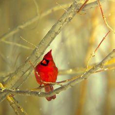 "Cardinal bird in a tree red decor bird photography ""how beautiful he is"""