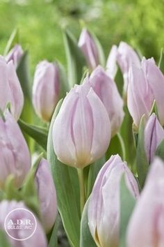 'Candy Prince' Tulip
