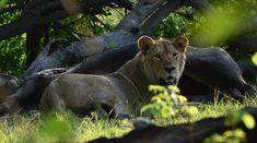 Panther, Animals, Animales, Animaux, Animal, Animais, Black Panthers