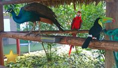Panama Aviary. Birds of all kinds includeing Toucans, macaws, peacocks, pheasants and many more.  Safarick's Zoo and Animal Rescue.  #Panama