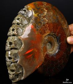 Jun 2014 ACSAD (A Crystal Skull a Day) - The Ancient Council - Ammonite Fossil with Ammolite Carved Crystal Skulls Sculpture with Black Obsidian Stand Crystals Minerals, Rocks And Minerals, Stones And Crystals, Rare Crystal, Crystal Skull, Ammonite, Rocks And Gems, Sculpture, Skull And Bones