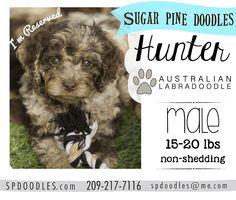 Australian Labradoodle Puppies, Sugar Pine Doodles, spdoodles, doodle puppy
