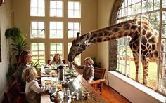 Giraffes join guests at the breakfast table in African hotel.  Guests at this hotel in Kenya must prepare themselves to share the breakfast table with some rather unusual companions – a colony of Rothschild giraffes. They are some of the rarest giraffes with only a few hundred left in existence.