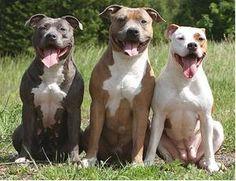 9-11 pitbull   ... pitbulls, in dog parks such as Eberwein Dog Park. Currently, pitbulls