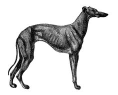 Antique Images: Vintage Greyhound Dog Digital Download Animal Image Transfer