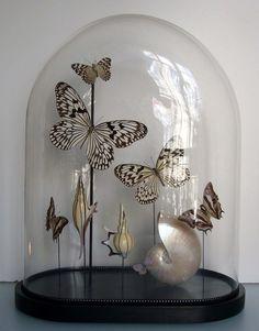 - shells and butterflies in bell jar