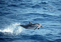 Striped-Dolphin-Bob-Pitman-1024x708