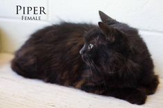 URGENT! BRUNSWICK, GA. MUST BE ADOPTED BY WEDNESDAY, JUNE 17TH AT 4 PM. NO PULLING FEES FOR LICENSED RESCUES. FREE TRANSPORT FREQUENTLY POSSIBLE. Meet PIPER! Piper is a big fluffy cat with medium long hair. She is gorgeous! She is 8-10 years old, and happy-go-lucky. She likes to be petted, and enjoys playing. Her world was turned upside down when her Mama died suddenly and left her and her 4 siblings alone for a week. Piper and Ginger are sisters and would do great together, but can be…