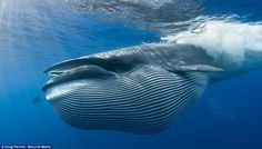 A large sardine supper: Giant whale caught on camera swallowing a whole shoal of fish.A whale prepares to clamp its jaws around a shoal of sardines in this remarkable underwater image. Bryde's Whale, Blue Whale, Humpback Whale, Ocean Creatures, Mundo Animal, Killer Whales, Sea And Ocean, Ocean Life, Whales