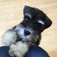 What a darling little mini schnauzer puppy love that sweet little face