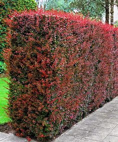 Genus: Berberis Species: thunderbergii Common: Japanese barberry H: W: Z: Evergreen Landscape, Evergreen Hedge, Garden Hedges, Garden Fencing, Landscaping Tips, Front Yard Landscaping, Trees And Shrubs, Trees To Plant, Natural Privacy Fences