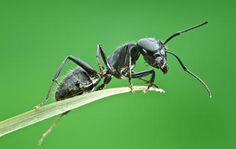God, Science and the Bible: More to Consider About the Ant -- Consider the ant, Solomon urged, and learn wisdom from her ways (Proverbs 6:6).