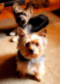 Barnaby & Oliver Cute #Yorkies         #dogs  http://www.petrashop.com/
