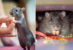 How a Hong Kong Alley Rat Changed a Young Couple's Life - a lovely article on  learning the love of rats.
