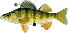Image result for Perch