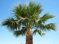 Mexican Fan Palm tree in my back yard. Mesa, Arizona.