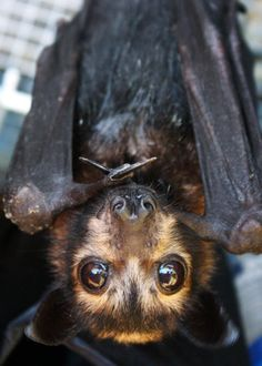 flying fox - i need one as a pet! i would give all the love to this beautiful creature!