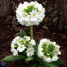 Kugleprimula (Primula denticulata ´Alba´)