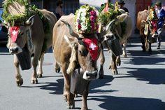 zz_IMG_5827_cow_parade_3