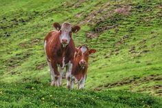 Berg, Cow, Animals, Animales, Animaux, Animal, Animais
