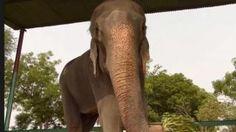 Animaux - Signez la pétition : L'éléphant RAJU ne doit pas retourner à ses anciens propriétaires !