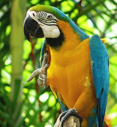 Blue & Gold Macaw