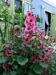 Hollyhock Alcea 'Halo Cerise'. Planted in 2014; bloomed the first year. Collected seed and planted more in 2015 which should bloom in 2016.