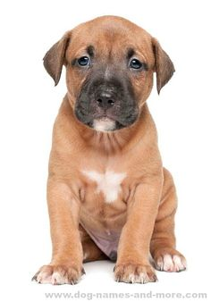 Find this cute Pit Bull Puppy on our Pit Bull Names page Our top list of Pit Bull names are ideas chosen just for this unique breed. Find cool male and female Pitbull dog names by theme and color too. Pitbull Puppy Names, Puppy Facts, Matou, Bully Dog, Cute Puppy Pictures, Pit Bull Love, Dog Behavior, I Love Dogs, Pets