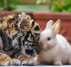 The revealing images show how the animals have yet to gain their animal instincts. Above, the tiger cub snuggles up to a bunny at the zoo