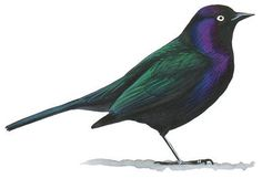 Often regarded as a pest, the Starling wins our grudging admiration for its adaptability, toughness, and seeming intelligence. Brought to North America in 1890, it has spread to occupy most of the continent, and is now abundant in many areas. Sociable at most seasons, Starlings may gather in immense flocks in fall and winter. When the flocks break up for the breeding season, males reveal a skill for mimicry, interrupting their wheezing and sputtering songs with perfect imitations of other…