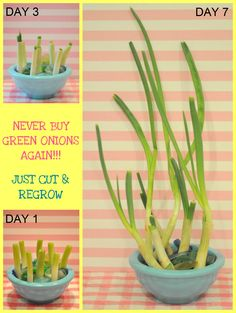 Never buy scallions again! How to quickly and easily regrow the onions already in your refrigerator!