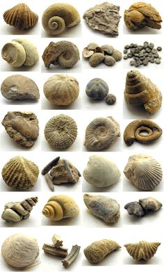 Marine Life Fossils / Pearl-Nautilus