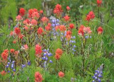 indian paintbrush and blue bonnets