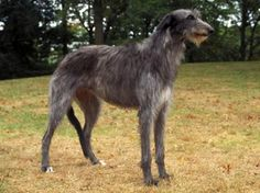 """The Scottish Deerhound, another of the Greyhound types, became a distinct breed because of where it lived and its purpose: to hunt the large deer of the Scottish highlands. This was how the Scottish Deerhound became known as the """"Royal Dog of Scotland."""""""