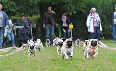 RELEASE THE PUGS!  I love that one pug who is just standing on the side :) hahaha