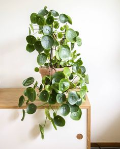 strange indoor plants can be pretty in their own way. They're a great addition to your indoor plant collection that you can show off to your friends. Here are some weird plants you can check out! Indoor Tropical Plants, Small Indoor Plants, Indoor Plants Low Light, Exotic House Plants, Indoor Plant Pots, Chinese Plants, Chinese Money Plant, Cactus Plante, Weird Plants