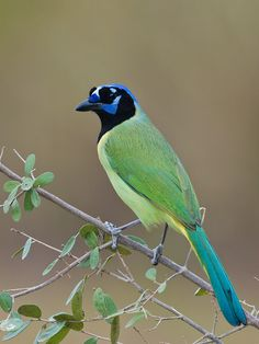 """"""" The Green Jay - Cyanocorax yncas, is a bird species of the New World jays. This species ranges from southern Texas south to Mexico and Central America. Photo by Jacob S. Spendelow. """""""