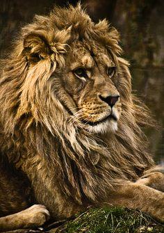☀barbary lion by jon burr*