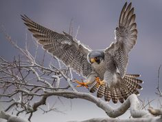Photo about Peregrine Falcon in New Jersey. Image of peregrine, chick, beautiful - 113068958 Falcon Tattoo, Tattoo Coloring Book, Chicken Painting, Peregrine Falcon, Fabric Wall Art, Birds Of Prey, Bird Watching, Bird Art, Beautiful Birds