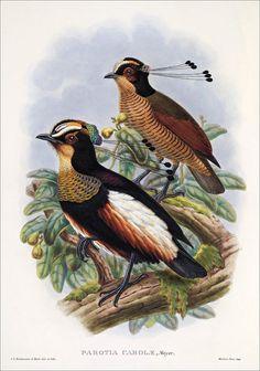 Richard Bowdler Sharpe_ Birds of paradise 20