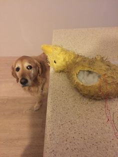 Operating on my dogs favourite toy. He looks very concerned.